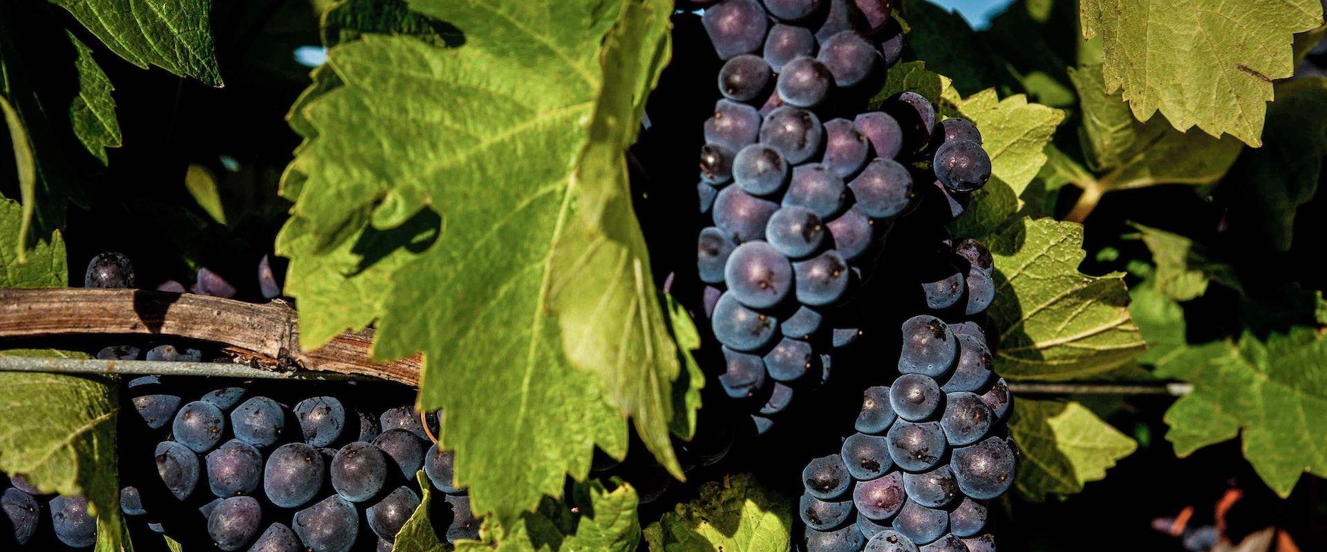 pinot-grapes